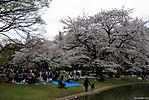 Cherry-Blossoms-2007-Yoyogi-Park-Tokyo-010.jpg