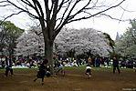 Cherry-Blossoms-2007-Yoyogi-Park-Tokyo-011.jpg