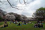 Cherry-Blossoms-2007-Yoyogi-Park-Tokyo-013.jpg