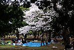 Cherry-Blossoms-2007-Yoyogi-Park-Tokyo-017.jpg