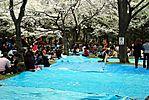 Cherry-Blossoms-2007-Yoyogi-Park-Tokyo-026.jpg