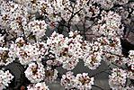 Cherry-Blossoms-2007-Yoyogi-Park-Tokyo-035.jpg